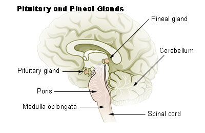 pineal glands